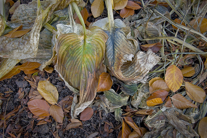Russ Martin - Blue and Green Wilted Hosta Leaves