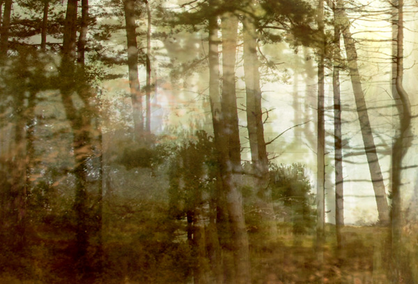 Lisa Holden - Pine Forest I (from Series