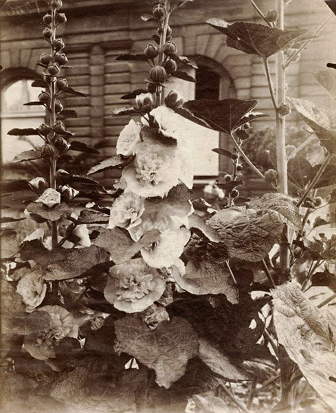 Photo Exhibit | Detail | Jean-Eugene-Auguste Atget - Flowers (Hollyhocks)