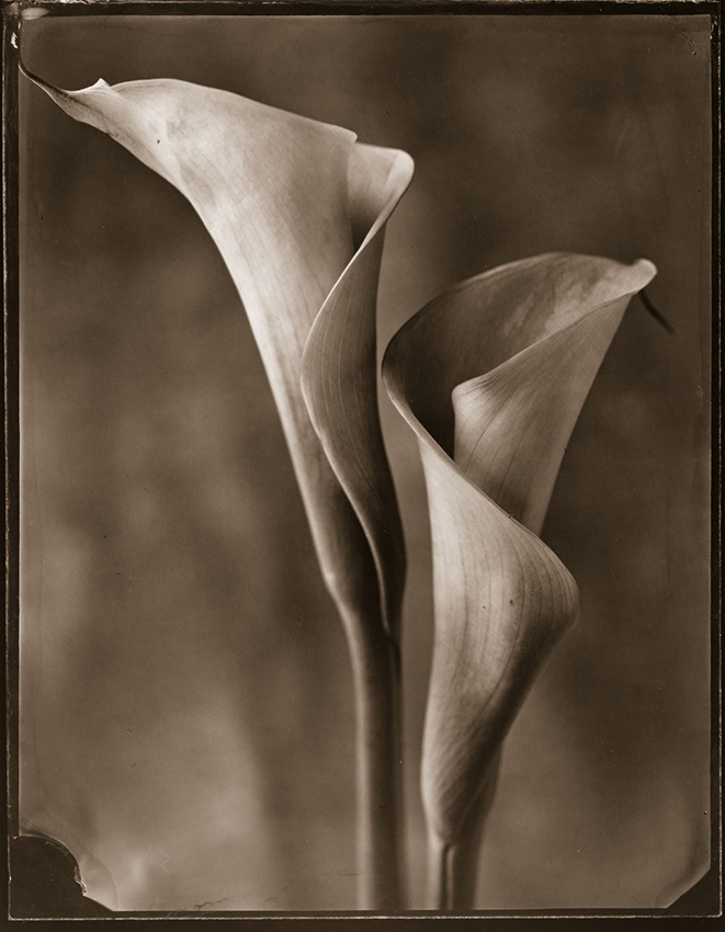 Tom Baril - Two Calla Lilies (Daylight)
