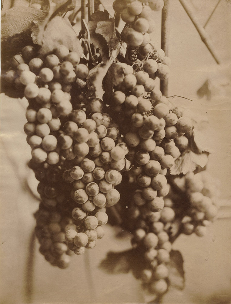 Charles Aubry (attributed to) - Cluster of Grapes (Grappe de Raisin)