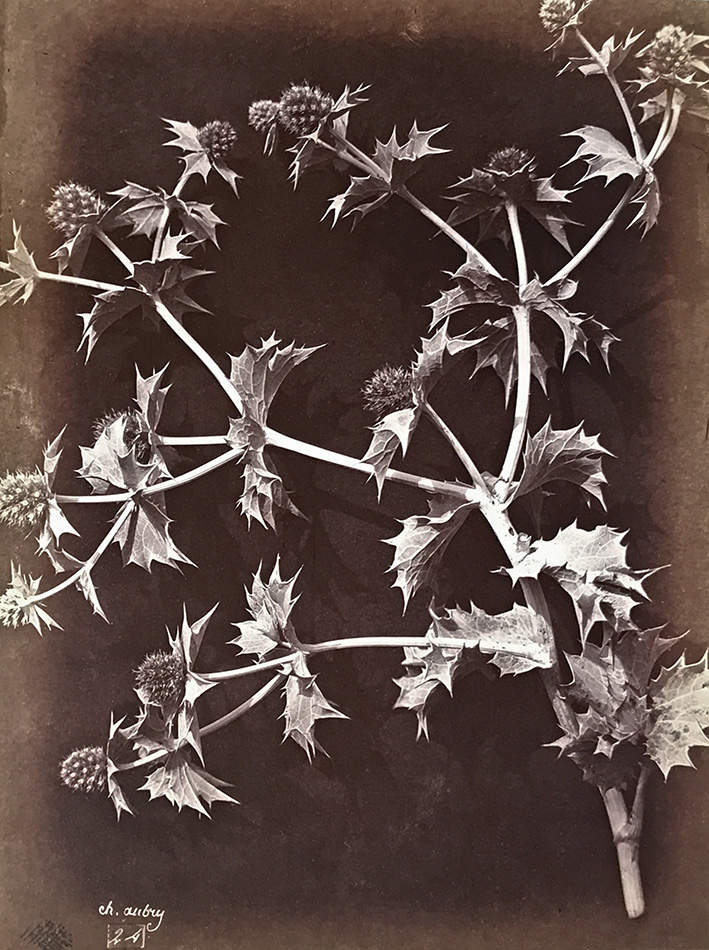 Charles Hippolyte Aubry - Thistle or Sea Holly with Dark Background