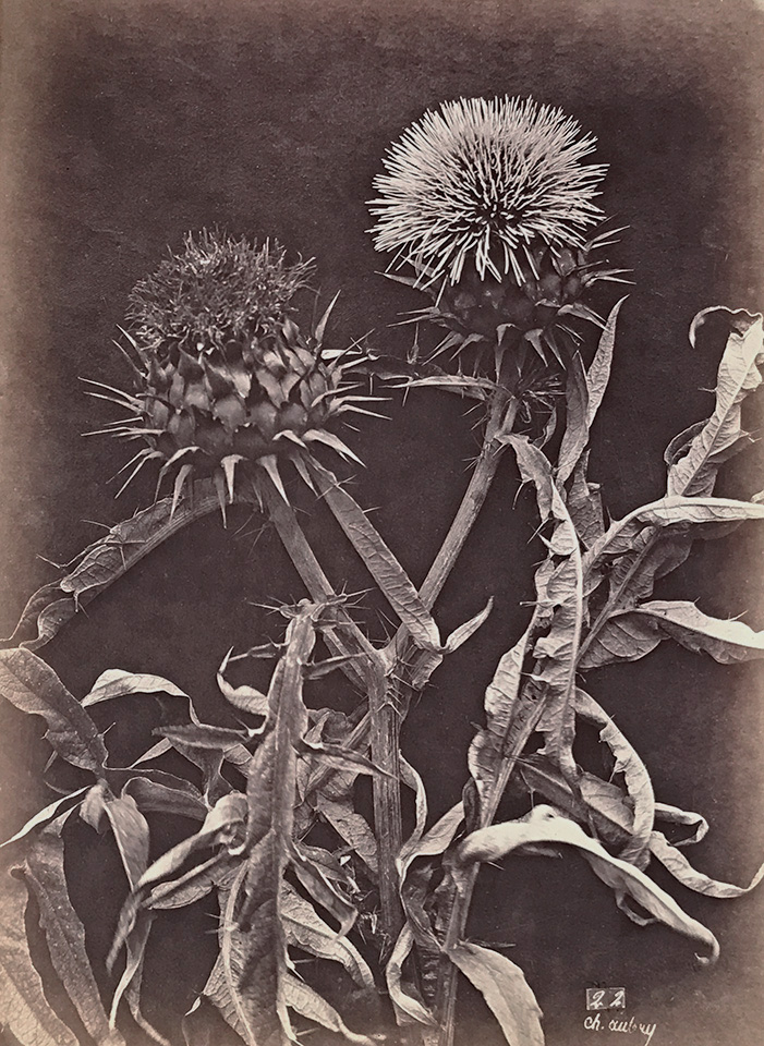 Photo Exhibit | Detail | Charles Hippolyte Aubry - Thistles