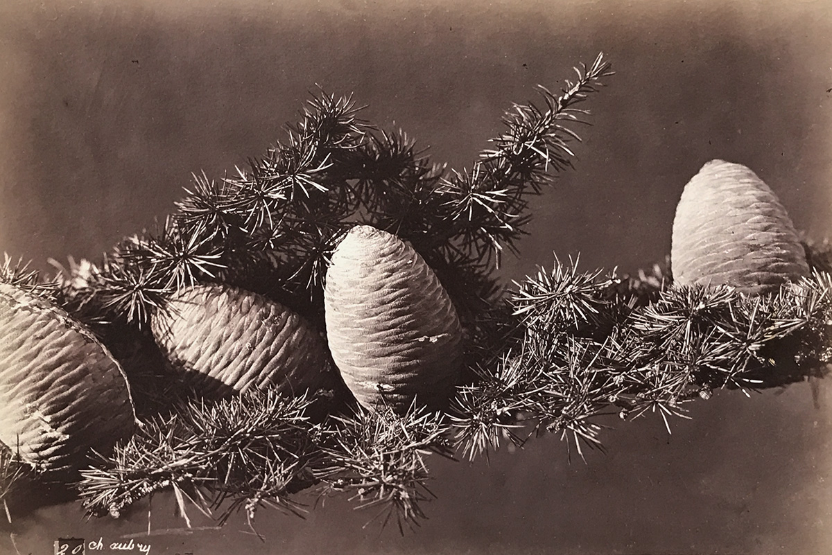 Charles Hippolyte Aubry - Evergreen with Pine Cones