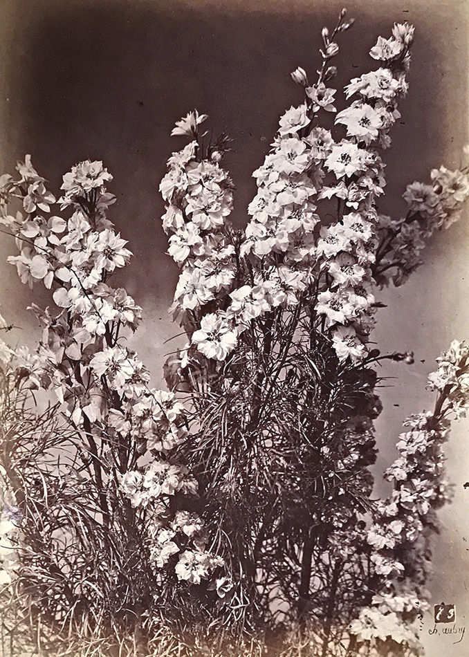 Photo Exhibit | Detail | Charles Hippolyte Aubry - Large Bellflowers (Campanule à Grosses Fleurs)