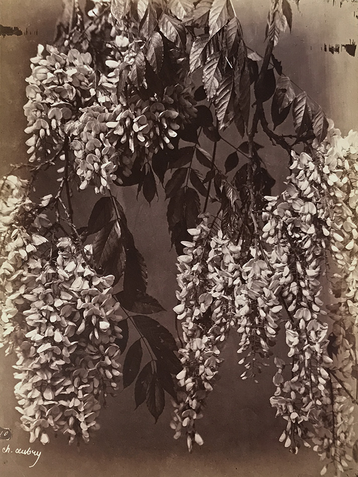 Charles Hippolyte Aubry - Laburnum, Sometimes Called Golden Chain or Golden Rain