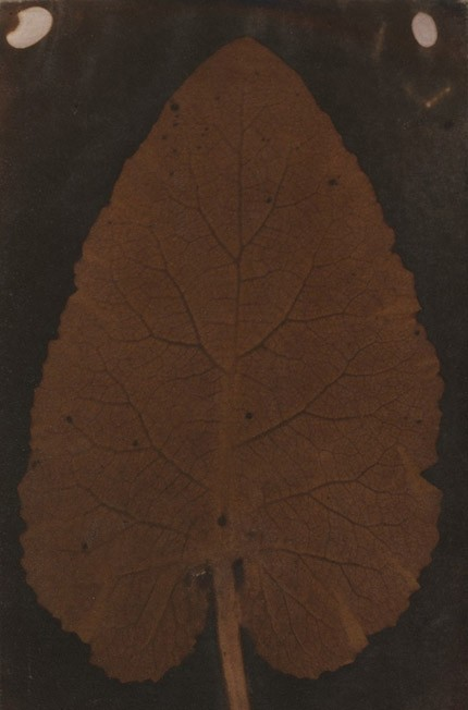 Controversial leaf