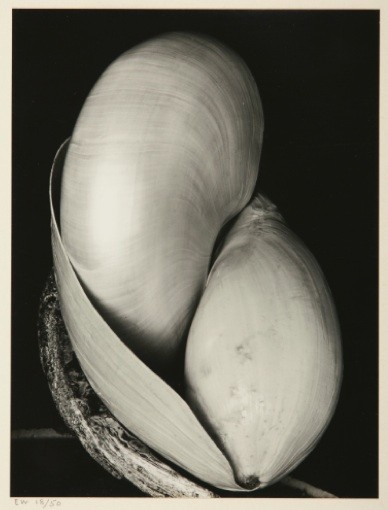 Edward Weston's Shells was the top lot of the Spring auction season at $905,000.